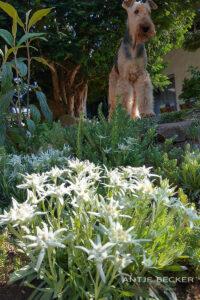 Bergdale Edelweiss